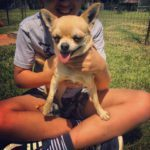 Gidget, 3 year old Chihuahua male