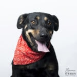 Cassie - Cross Rottweiler, 3 years old female